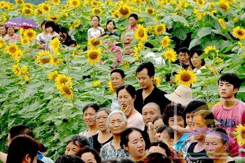 葵花朵朵向阳开