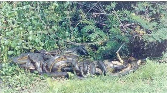 世界上最大的蛇97米图解