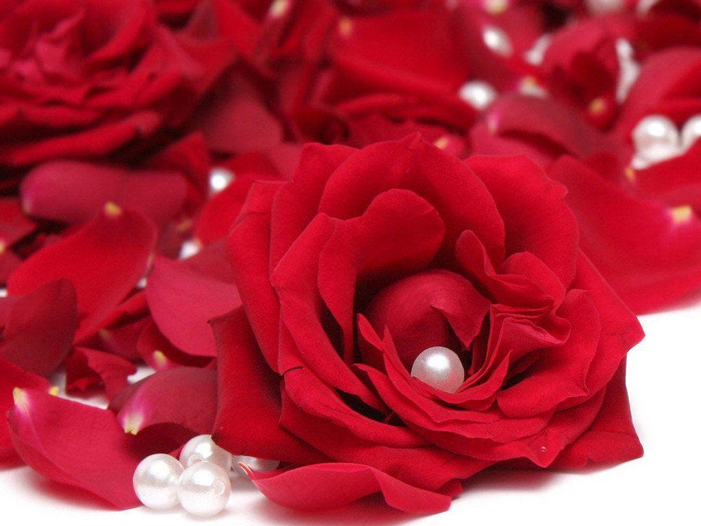玫瑰花图片真实照片