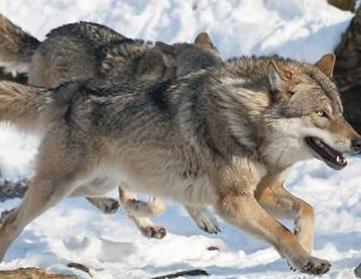关于狼的作文600字|关于狼的作文