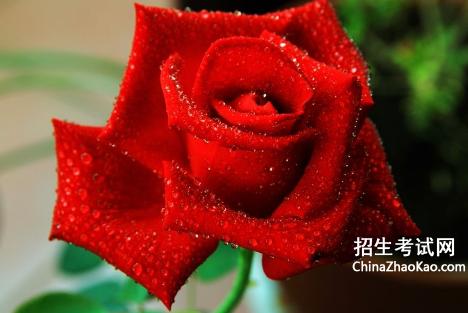 【玫瑰歌词贰佰含义】玫瑰贰佰歌词