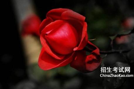 写玫瑰花的作文_玫瑰花的作文范文