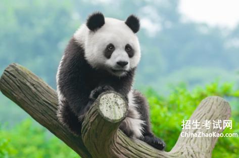 国宝大熊猫300字作文_大熊猫作文300字