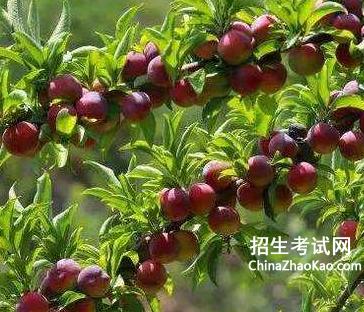 写李子树的说明文